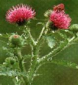 The thistle is the national flower of Scotland, and is found growing in the hedges around Hillview Cottage.