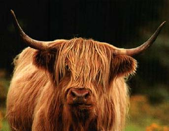 Now an icon of Scottish wildlife, the highland cow is the only one in Britain allowed to have long horns